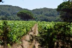 Rijen van wijnstokken in een wijngaard Royalty-vrije Stock Afbeeldingen