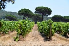 Rijen van wijnstokken in een wijngaard Stock Foto's