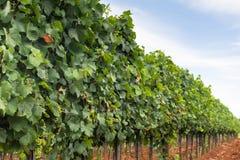 Rijen van wijnstokken in het landschap van de druivenaanplanting Wijngaard Royalty-vrije Stock Afbeeldingen