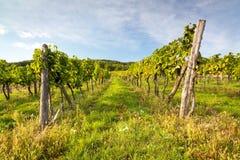 Rijen van wijnstokken in warm licht Stock Foto's