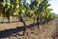 Rijen van wijnstokken in wijngaard Royalty-vrije Stock Foto's