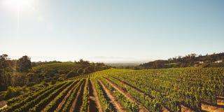 Rijen van wijnstokken in wijngaard Stock Foto