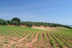 Rijen van wijnstokken in wijngaard in Spanje royalty-vrije stock afbeeldingen
