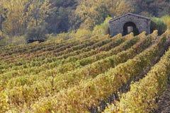 Rijen van wijnstokkenwijngaarden, mooi licht, Toscanië, Italië Stock Fotografie
