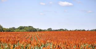 Rijen van Zoete die Sorghum, voor voedsel en biofuels worden gebruikt Royalty-vrije Stock Foto