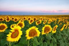 Rijen van zonnebloemen in het zachte ochtendlicht Royalty-vrije Stock Foto's