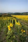 Rijen van zonnebloemen op gebied met schuur. royalty-vrije stock afbeelding