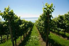 Rijen in wijngaard Royalty-vrije Stock Foto's