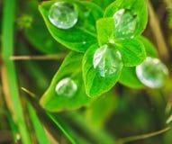 Rijk groen die gras door een ochtenddauw wordt behandeld Royalty-vrije Stock Afbeeldingen