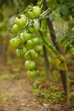 Rijke oogst van tomaten Stock Afbeeldingen