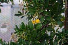 Rijp aardbeifruit op de aardbeiboom van arbutusunedo van het mediterrane zeegebied royalty-vrije stock foto