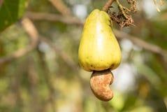 Rijp cachoufruit in een boom Royalty-vrije Stock Afbeeldingen