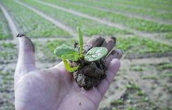 Rijp de holdingsjong boompje van de landbouwershand met espinachinstallatie royalty-vrije stock foto's