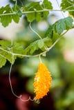 Rijp fruit Momordika Royalty-vrije Stock Afbeelding