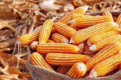 Rijp geel graan in zak op droge natuurlijke organisch van het schil Landelijke landbouwbedrijf royalty-vrije stock afbeelding