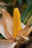 Rijp, geel oor van suikermaïs op het gebied Stock Foto's