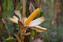 Rijp, geel oor van suikermaïs op het gebied Royalty-vrije Stock Fotografie