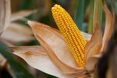Rijp, geel oor van suikermaïs op het gebied Royalty-vrije Stock Foto