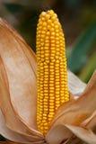 Rijp, geel oor van suikermaïs op het gebied Stock Afbeelding
