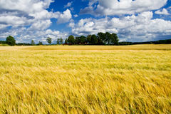 Rijp gerstgebied met een farme Stock Foto