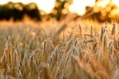 Rijp Gouden Tarwegebied Tegenover de het plaatsen zon Rijke oogst voor het ontwerp Sluit omhoog Royalty-vrije Stock Foto's