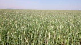 Rijp graangewassengebied stock video