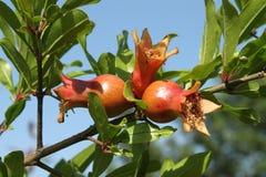 Rijp granaatappelfruit op boom Stock Foto's