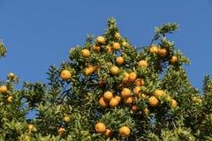 Rijp, het oranje groeien van sapcalifornië Royalty-vrije Stock Fotografie