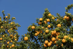 Rijp, het oranje groeien van sapcalifornië Stock Afbeelding