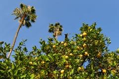 Rijp, het oranje groeien van sapcalifornië Royalty-vrije Stock Foto's