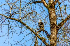 Rijp Kaal Eagle zittend in boom het letten op voor het kuit schieten zalm in Stave River stock afbeelding