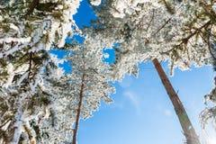 Rijp op de bomen in de winterbos Stock Foto's