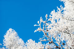 Rijp op de bomen en de blauwe hemel Royalty-vrije Stock Foto