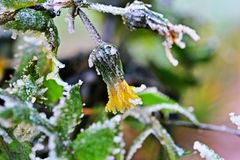Rijp op gele bloem Royalty-vrije Stock Afbeeldingen