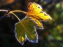 Rijp op twee bladeren van een bes Royalty-vrije Stock Foto