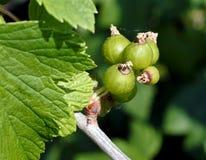 Rijp spoedig meer groene bessen van zwarte bes stock afbeeldingen