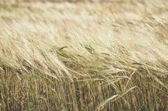 Rijp tarwegebied in zonnige dag De aartjes van rogge groeien in a stock afbeelding