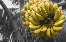 Rijp volledig bos van Bananen op boom Stock Afbeelding