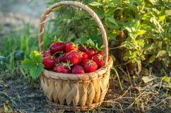 Rijpe aardbeien in een rieten mand Zonnige dag royalty-vrije stock afbeelding