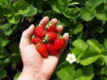 Rijpe aardbeienoogst met de hand stock fotografie