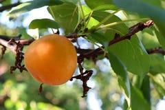 Rijpe abrikoos op een boomtak Royalty-vrije Stock Foto