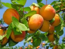 Rijpe abrikozen Stock Afbeeldingen