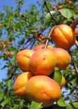 Rijpe abrikozen Stock Foto's