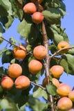 Rijpe abrikozen royalty-vrije stock afbeelding