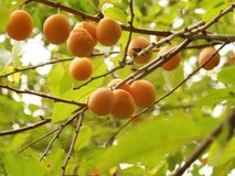 Rijpe abrikozen op een tak royalty-vrije stock foto's