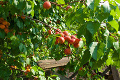 Rijpe abrikozen op een tak Stock Fotografie