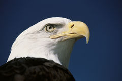 Rijpe Amerikaanse kale adelaar Stock Foto's