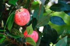 Rijpe appel in groen gebladerte Close-up stock foto's