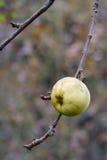 Rijpe appel op een tak. De herfst. royalty-vrije stock afbeeldingen
