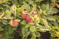 Rijpe appelboom Stock Afbeelding